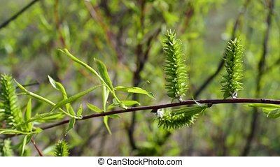 Willow branch with fresh green osier foliage - Beautiful...