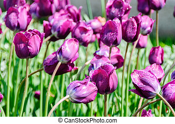 tulips, valentines day background 14 february