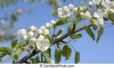 Blooming pear tree branch with on blue sky background -...