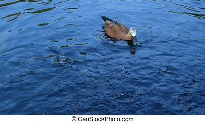 One ruddy shelduck swims in pond - One ruddy shelduck swims...