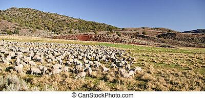 flock of sheep in open landscape farm scenery