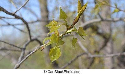 Young twig of a poplar tree with fresh lush leaves
