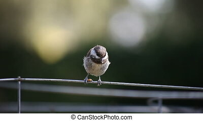 bird loses worm - a chickadee loses its grasp on a mealworm...