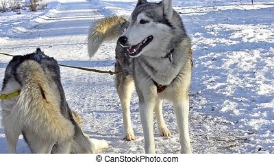 Girl playing with siberian Husky resting in snow after race....