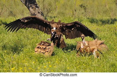 Cinereous vulture attacking a griffon vulture. - Cinereous...