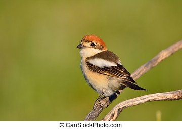 Woodchat shrike perched on a branch. - Woodchat shrike...