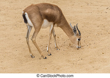 Dorcas gazelle looking for food between the earth