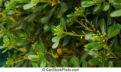 Shrubs and trees Pittosporum in Montenegro. Landscaping...