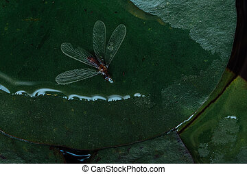 folha,  macro, inseto, Morto, água, lago, pernilongo, lírio