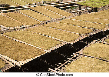 Tobacco leaves - Loose tobacco leaves drying in the sun in...