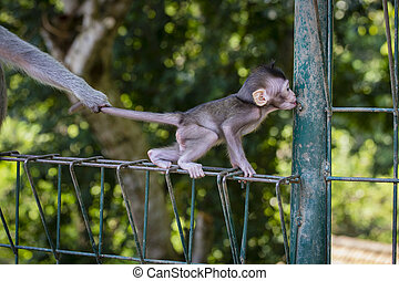 Monkey family at sacred monkey forest Ubud Bali Indonesia. -...