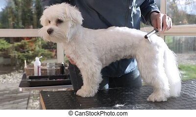 Side view of combing the adorable white dog - Side view of...