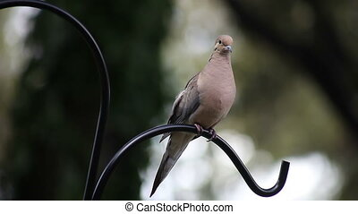 mourning dove - a dove perches on a gardens shepherd hook...