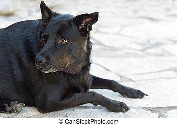 Apprehensive Black Dog - Black Dog Labrador Retriever Mix...