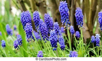 Blue flowers Muscari. The camera moves back on the slider. Color correction.