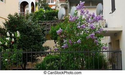 A tree of purple lilac in the courtyard, near the villa....