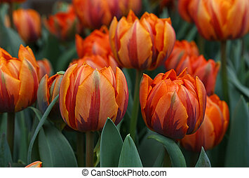 Orange brown fresh tulip flowers - Fresh springtime orange,...