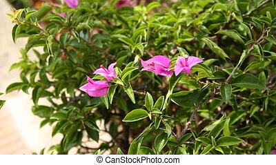 Natural background with pink blooming bougainvillaea...