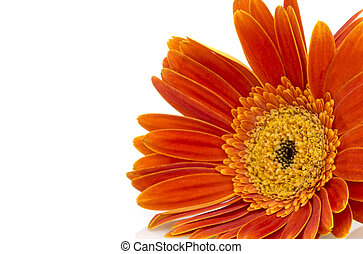 Orange gerbera daisy (transvaal) flower closeup. - Orange...