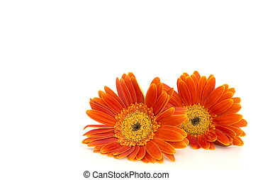 Orange gerbera daisy (transvaal) flowers closeup. - Orange...