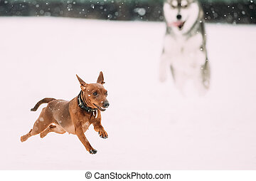 Two Funny Dogs Play Together. Funny Dog Red Brown Miniature...