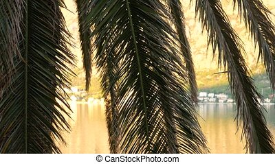 A branch of palm tree close-up. Date tree in Montenegro.