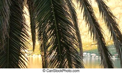 A branch of palm tree close-up. Date tree in Montenegro. - A...