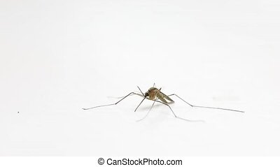 Mosquito on white surface - Mosquito stuggling isolated on...