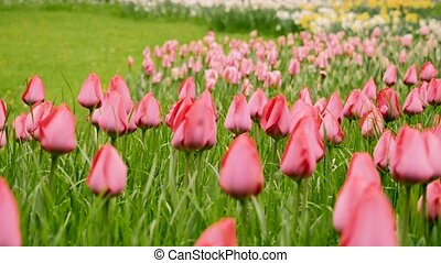 Close up of red tulips in a field. The camera moves back on the slider. Color correction.