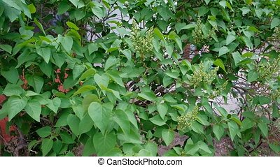Garden background with a syringa buds, lilac flowers...