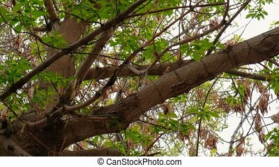 Dried maple seeds on a branches of maple with fresh leaves...