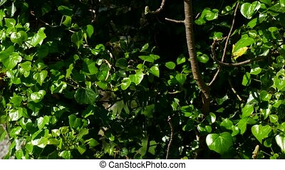 Trees overgrown with ivy. Texture of wild plants in forest -...