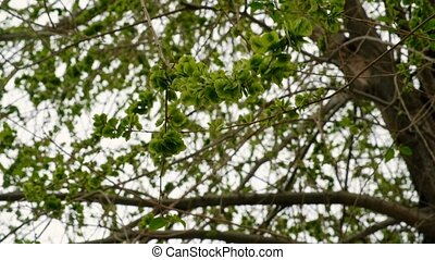 Green elm seeds covering twigs against sky natural grading...