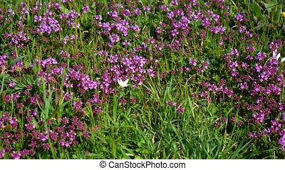 The nature of Montenegro. Wild flowers in the mountains....
