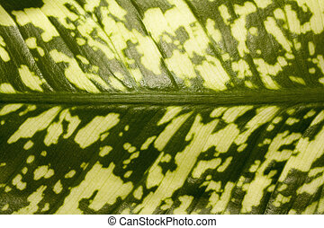 leaf of dieffenbachia closeup abstract natural texture