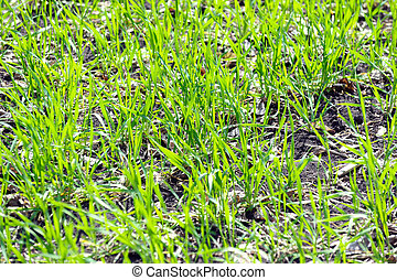 Winter wheat germs on the field