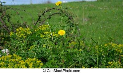 Taraxacum flowers in green grass