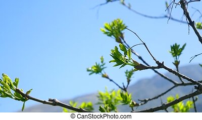 Kidneys blossom on trees against the blue sky. Flowers and...