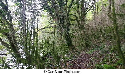 Moving by the path through the wild mystic forest with mossy...
