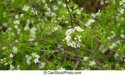 Flowering cherry branches. Flowering fruit trees in...