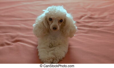 Cute beige poodle lying on the bed. A petite affectionate...
