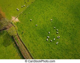Herd Of Sheep Aerial