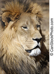 Wach Out - Lion resting and observing