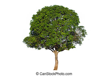 Mango tree (Mangifera indica), tropical tree in the northeast of Thailand isolated on white background,tree isolated on white background