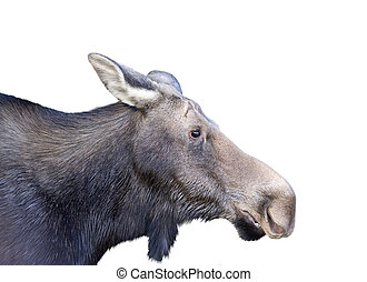 female moose on a white background