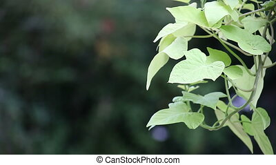 ornamental sweet potato vine - leaves of ipomea are...