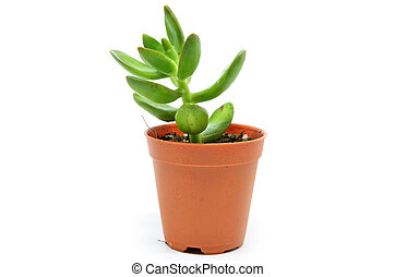 Sedum succulent plant with green fleshy leaves isolated on...
