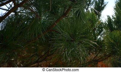 Branches of pine trees in Montenegro near the sea