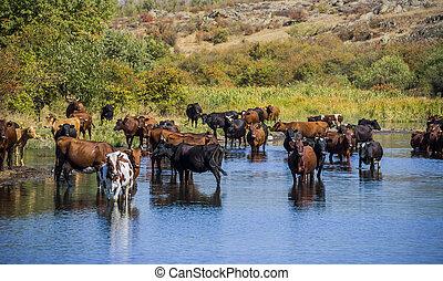 caws, fiume, pascolo