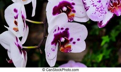 Orchid flower white petals with purple violet spots close...